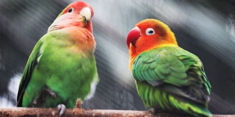 The parakeets who call Amsterdam home
